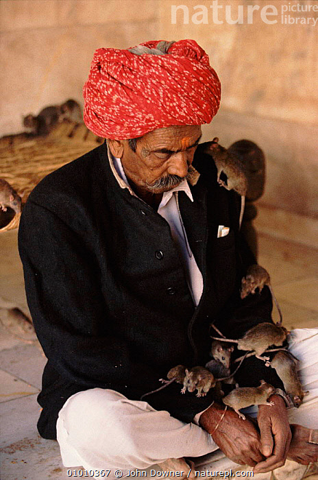 Devotee meditating with Black rats, Karni Mata Temple, Deshnok, Rajasthan, India.  ,  INTERESTING,TEMPLE,HORRIFIC,MAMMALS,RELIGION,INDIA,MIXED SPECIES*,PEOPLE,RODENTS,INDIAN SUBCONTINENT,RAJASTHAN,JD,INTERACTIVE,KARNI,VERTICAL,ASIA,COMMUNICATION,MURIDAE  ,  John Downer