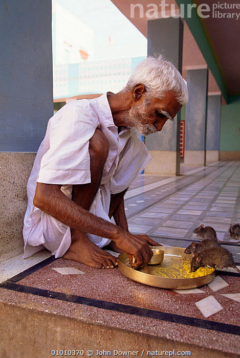 Devotee shares meal with Black rats (Rattus rattus)Karni Mata Temple Deshnok, Rajasthan, India.  ,  GROUPS,HORRIFIC,INDIAN SUBCONTINENT,INTERESTING,MAMMALS,MAN,PEOPLE,RATS,RELIGION,RODENTS,TOLERANCE,VERTEBRATES,Muridae,Asia  ,  John Downer