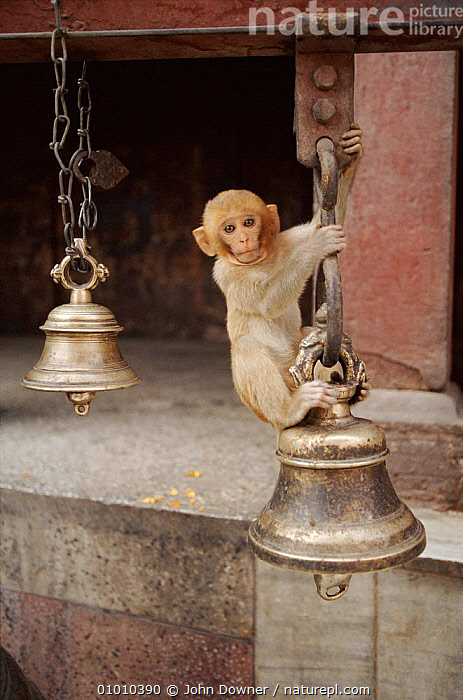 Young rhesus macaque playing on bell in Durga temple, Varanasi, India  ,  JD,JUVENILE,MAMMALS,TEMPLE,VERTICAL,PRIMATES,BUILDINGS,INDIA,INDIAN SUBCONTINENT,VARANASI,BELL,ASIA,MONKEYS  ,  John Downer