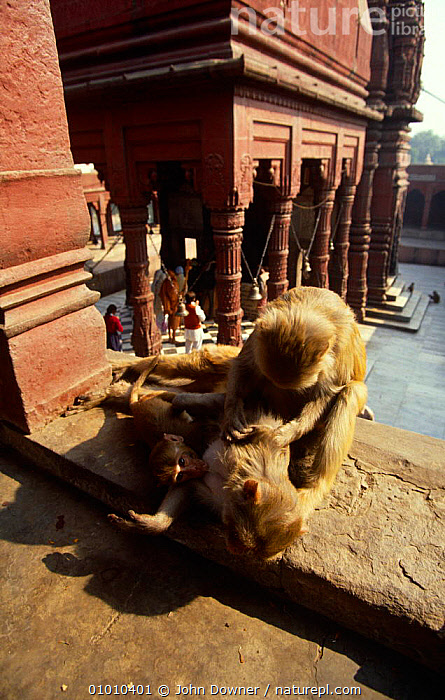 Rhesus macaques {Macaca mulatta} grooming on Hindu temple wall, Durga, Varanasi, India,  ,  ASIA,BEHAVIOUR,BUILDINGS,INDIA,MACAQUE,MACAQUES,MAMMALS,MONKEYS,PRIMATES,TWO,URBAN,VERTEBRATES,VERTICAL  ,  John Downer