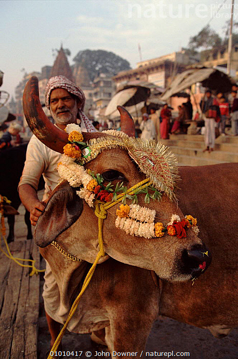 Cattle in market, tolerated because holy animal. India  ,  JD,,INDIAN SUBCONTINENT,VERTICAL,MAMMALS,INDIA,LIFESENSE,HOLY,MARKET,PEOPLE ,URBAN,ASIA  ,  John Downer