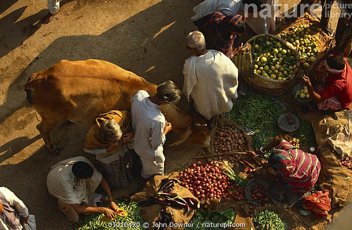 Cattle wandering through market, tolerated as holy animals, India  ,  AERIALS,ARTIODACTYLA,BOVIDS,CATTLE,COWS,FOOD,HINDU,HOLY,INDIAN SUBCONTINENT,MAMMALS,MARKETS,PEOPLE,STREETS,URBAN,VERTEBRATES,Asia  ,  John Downer