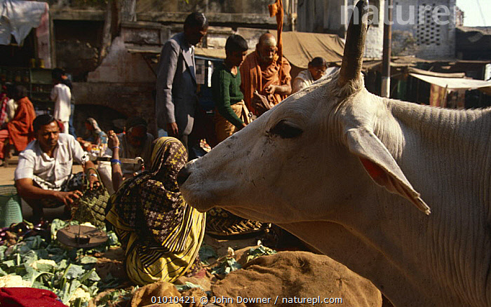 Cow {Bos indicus} in market, tolerated as holy animals, India, ARTIODACTYLA,BOVIDS,CATTLE,HEADS,HINDU,HOLY,INDIAN SUBCONTINENT,MAMMALS,MARKETS,PEOPLE,PROFILE,STREETS,URBAN,VERTEBRATES,Asia, John Downer