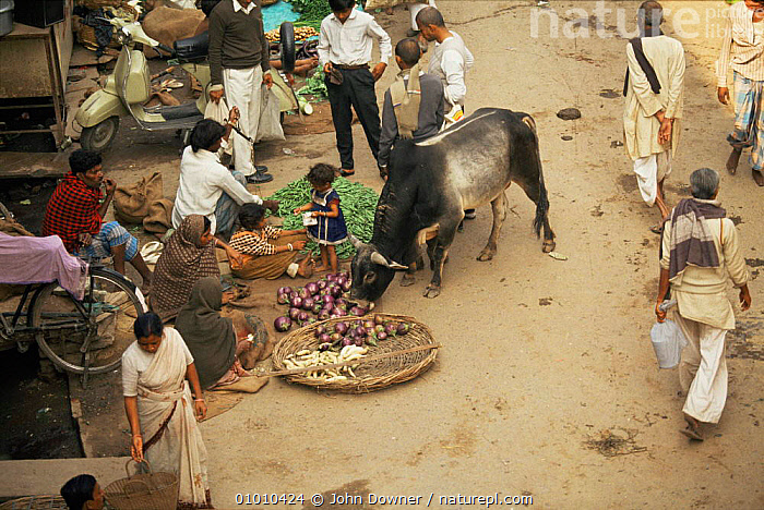 Cattle feeding from stalls in market, India. Cows are tolerated as holy animals. From BBC Lifesense series., ARTIODACTYLA,BOVIDS,CATTLE,INDIAN SUBCONTINENT,MAMMALS,PEOPLE,URBAN,VERTEBRATES,Asia, John Downer