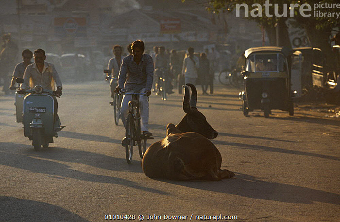 Holy cow {Bos indicus} resting in busy street, India, ARTIODACTYLA,BOVIDS,CATTLE,HINDU,INDIAN SUBCONTINENT,MAMMALS,PEOPLE,RESTING,ROADS,TRAFFIC,URBAN,VERTEBRATES,Asia, John Downer