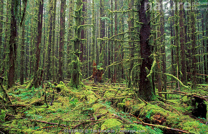 80-90 yr old re-growth. Olympic NP, Washington State, USA, ENDANGERED,LANDSCAPES,NORTH AMERICA,REGROWTH,SECONDARY,TEMPERATE RAINFOREST,WOODLANDS,USA, Tim Edwards