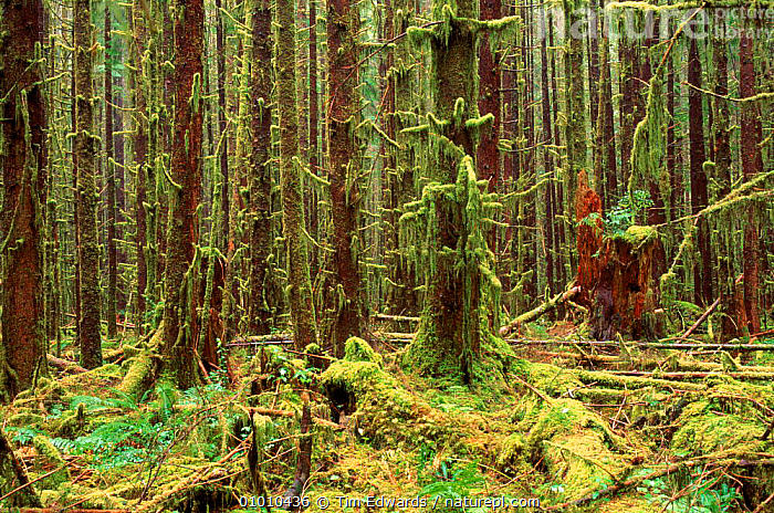 80-90 year-old re-growth. Olympic NP, Washington State, USA  ,  OLYMPIC,STATE,MOSS,TEMPERATE RAINFOREST,NP,TREES,PROTECTED,RE GROWTH,PLANTS,NATIONAL PARK,North America,USA  ,  Tim Edwards