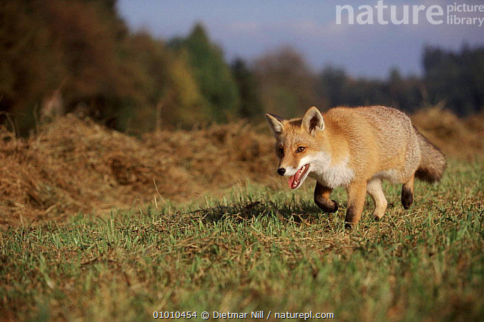 Red fox on the prowl, Germany, Europe, DN,EUROPE,CARNIVORES,MAMMALS,RUNNING,THERMOREGULATION,GERMANY,HORIZONTAL,DOGS,CANIDS, Dietmar Nill