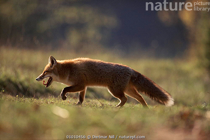 Red fox on the prowl, Germany, Europe, CANIDS,CARNIVORES,DN,DOGS,EUROPE,GERMANY,HORIZONTAL,MAMMALS,PROFILE,RUNNING, Dietmar Nill