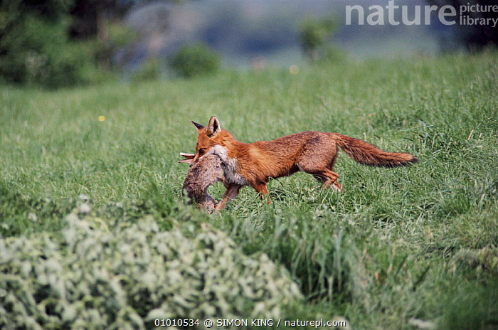 Red fox vixen with rabbit prey, England  ,  EUROPE,HORIZONTAL,CARNIVORES,ENGLAND,INTERESTING,PREDATION,MAMMALS,RABBIT,FARMLAND,SK,BEHAVIOUR,DOGS,CANIDS  ,  SIMON KING