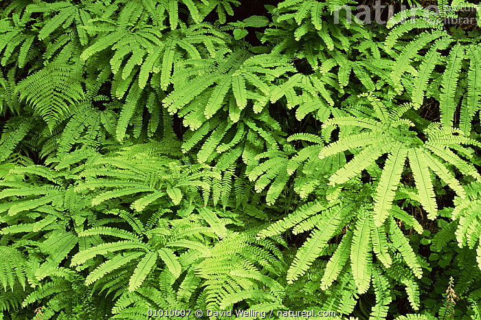Five finger fern {Adiantum pedatum} Temperate rainforest, California, USA, ARTY SHOTS,FERNS,FIVE,GREEN,LEAVES,OUTSTANDING,PLANTS,PTERIDACEAE,PTERIDOPHYTES,TEMPERATE RAINFOREST,USA,North America, David Welling