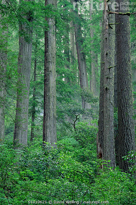 Giant Redwood (Sequoia sempervirens)  forest, Priairie Creek Redwoods SP, California, USA  ,  CONIFERS,GYMNOSPERMS,MIXED SPECIES,PLANTS,TAXODIACEAE,TEMPERATE RAINFOREST,TREES,USA,VERTICAL,WOODLANDS,North America  ,  David Welling