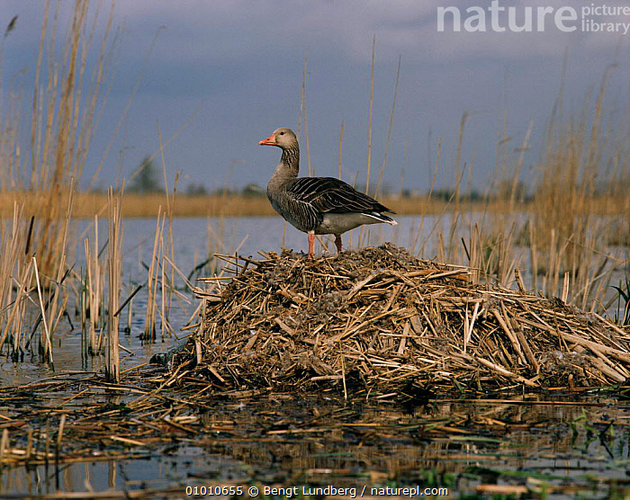 Greylag goose on nest (Anser anser) Brandenburg, Germany, BIRDS,GEESE,GERMANY,NESTS,VERTEBRATES,WATERFOWL,Europe,Wildfowl, waterfowl, Bengt Lundberg
