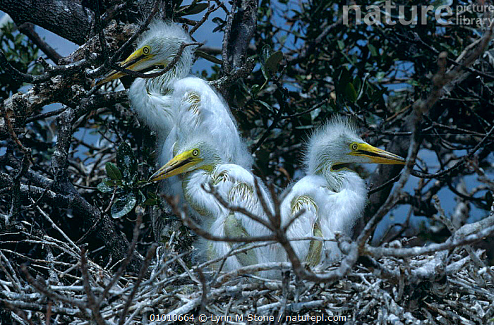 Great egret chicks in nest. (Ardea alba) Florida. USA, BIRDS, HERONS, JUVENILE, NESTS, PORTRAITS, USA, VERTEBRATES, wading-birds,North America, Lynn M Stone
