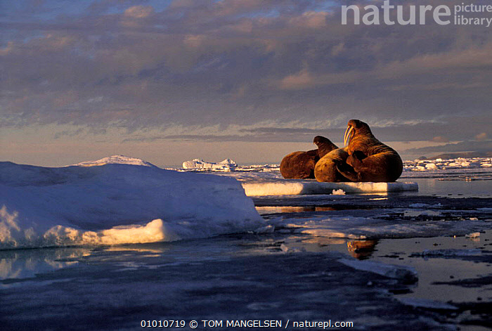 Walrus on ice floe (Odobenus rosmarus) Ellesmere Is Canada., CANADA,CAN,ARCTIC,ATLANTIC,FLOW,GROUPS,MAMMALS,MARINE,NORTH AMERICA, TOM MANGELSEN