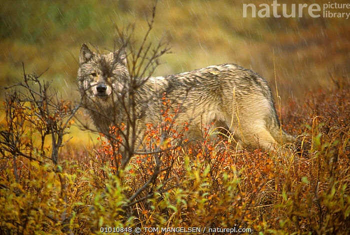 Wild Grey wolf portrait, Denali NP (Canis lupus) Alaska  ,  USA,WOLVES,CARNIVORES,MAMMALS,NORTH AMERICA,DOGS,CANIDS  ,  TOM MANGELSEN