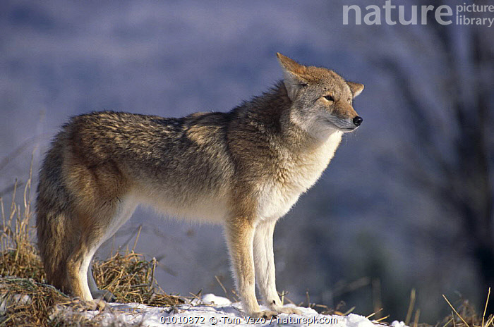 Grey wolf {Canis lupus} captive  ,  CANIDS,CARNIVORES,MAMMALS,NORTH AMERICA,PORTRAITS,PROFILE,VERTEBRATES,WINTER,WOLVES,Dogs  ,  Tom Vezo
