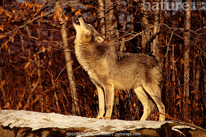 Grey wolf howling, USA  ,  MAMMALS,VOCALISATION,CAPTIVE,TV,SNOW,CARNIVORES,PROFILE,HORIZONTAL,HOWLING,DOGS,CANIDS  ,  Tom Vezo