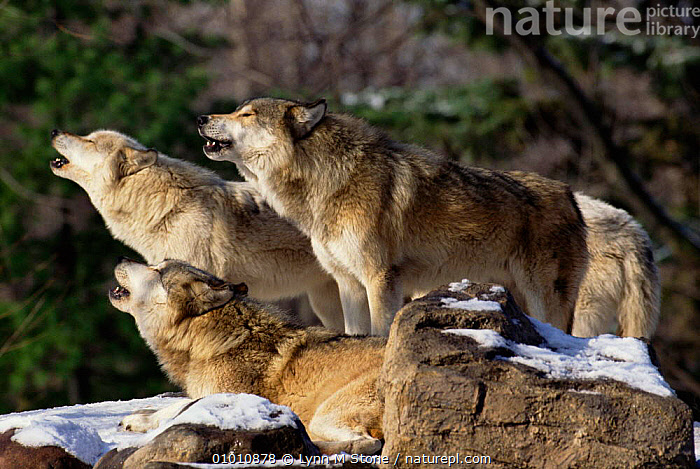 Grey wolf pack howling (Canis lupus) USA. Captive.   Not available for ringtone/wallpaper use., USA,WOLVES,PORTRAITS,TERRITORIAL,SOCIAL BEHAVIOUR,MAMMALS,GROUPS,HOWLING,CARNIVORES,North America,Dogs,Canids,RINGTONE, Lynn M Stone