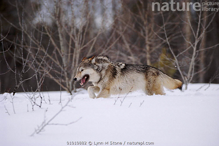 Grey wolf running in snow, USA, HORIZONTAL,RUNNING,CARNIVORES,WOODLANDS,SNOW,WINTER,LS*,MAMMALS,CAPTIVE,USA,NORTH AMERICA,DOGS,CANIDS, Lynn M Stone