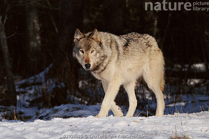 Grey wolf walking in snow, USA. Captive.  ,  CARNIVORES,WALKING,HORIZONTAL,LS*,MAMMALS,SNOW,WOODLANDS,DOGS,CANIDS  ,  Lynn M Stone