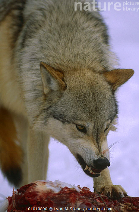 Grey wolf {Canis lupus} snarling whilst feeding on deer carcass, captive  ,  AGGRESSION,BEHAVIOUR,CANIDS,CARCASS,CARNIVORES,DEER,FEEDING,MAMMALS,PORTRAITS,SNARLING,VERTEBRATES,VERTICAL,WOLVES,Concepts,Dogs  ,  Lynn M Stone