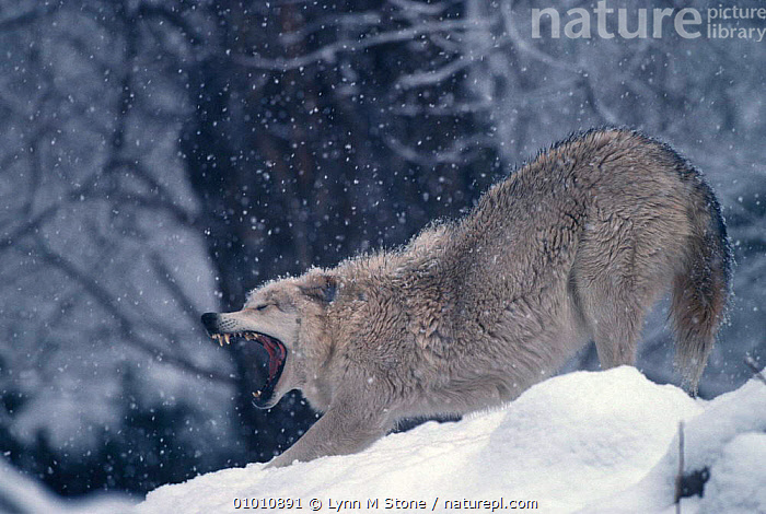 Grey wolf stretching & yawning (Canis lupus) captive, WINTER,NORTH AMERICA,SNOW,WOLVES,CARNIVORES,MAMMALS,Dogs,Canids,Catalogue1, Lynn M Stone