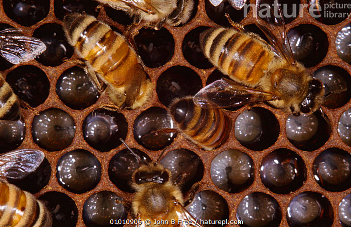 Worker Honey bees (Apis mellifera) on comb feeding larvae in nest, UK, ARTHROPODS,BEES,COLONIES,COLONY,COOPERATION,ENGLAND,EUROPE,FEEDING,GROUPS,HONEY,HYMENOPTERA,INSECTS,INVERTEBRATES,LARVAE,NESTING BEHAVIOUR,NESTS,PARENTAL,SOCIAL BEHAVIOUR,UK,WORKING,United Kingdom,Reproduction,British ,honeybee,honeybees, John B Free