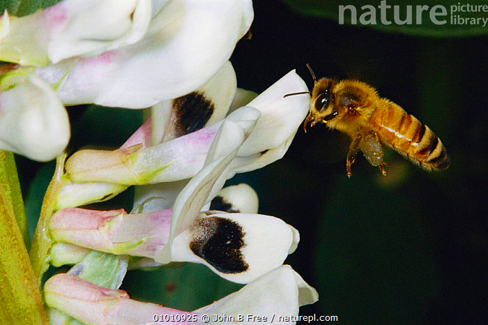 Honey bee (Apis mellifera) flying to field bean flower to gather pollen, AGRICULTURE,BEES,CROPS,FARMLAND,FLOWERS,FLYING,HYMENOPTERA,INSECTS,JBF,POLLEN,POLLINATION,INVERTEBRATES ,honeybee,honeybees, John B Free