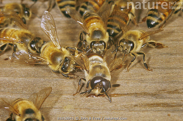 Drone Honey Bee (Apis mellifera) being evicted by workers from hive, UK, AGGRESSION,ARTHROPODS,BEEHIVE,BEES,EUROPE,GROUPS,HYMENOPTERA,INSECTS,INVERTEBRATES,SOCIAL BEHAVIOUR,TERRITORIAL,UK,United Kingdom,Concepts,British ,honeybee,honeybees, John B Free