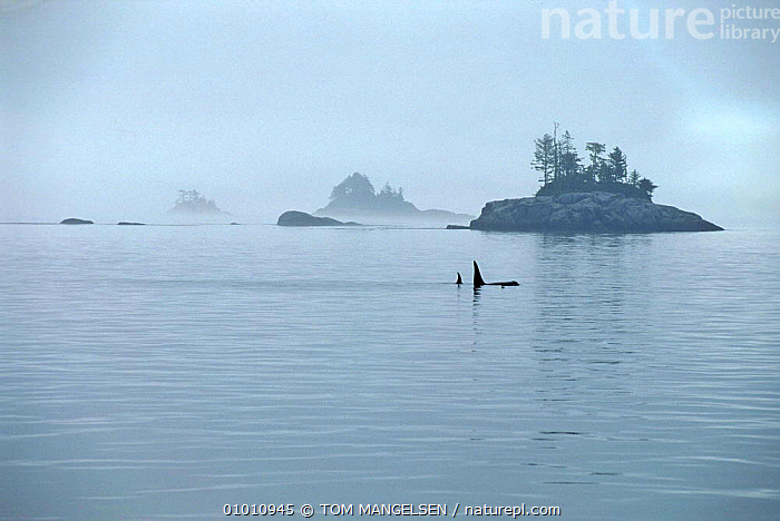 Killer whales in Johnstone Strait, Vancouver, Canada.  ,  MAMMALS,MARINE,MIST,LANDSCAPES,PACIFIC OCEAN,ORCAS,SURFACE,TEMPERATE,CANADA,COASTAL WATERS,CETACEANS,DOLPHINS,NORTH AMERICA  ,  TOM MANGELSEN