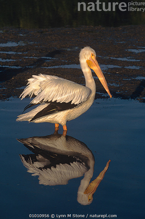 White pelican (Pelecanus erythrorhynchos) with reflection in water, USA  ,  BIRDS,PELICANS,REFLECTIONS,SEABIRDS,USA,VERTEBRATES,VERTICAL,WATER,WHITE,North America  ,  Lynn M Stone