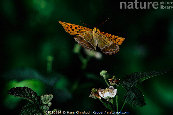 Silver washed fritillary (Argynnis paphia) in flight. Germany, Europe  ,  OUTSTANDING,FLYING,INSECTS,PLANTS,VERTICAL,CAPTIVE,GERMANY,HORIZONTAL,INVERTEBRATE,EUROPE,INVERTEBRATES,LEPIDOPTERA,BUTTERFLIES,Catalogue1  ,  Hans Christoph Kappel