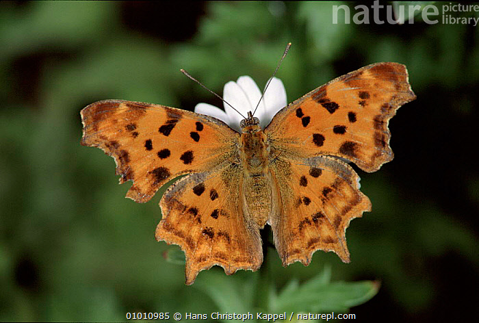 Comma Butterfly. Germany  ,  HK,HORIZONTAL,EUROPE,GERMANY,BUTTERFLY,INSECTS,ORANGE,PORTRAITS,WINGS,INVERTEBRATES  ,  Hans Christoph Kappel