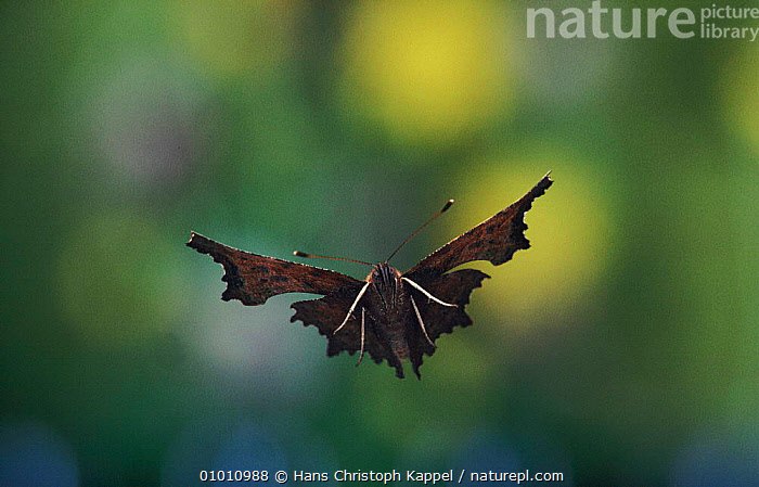 Comma Butterfly flying, Germany, EUROPE,FLYING,INSECTS,PORTRAITS,WINGS,HORIZONTAL,HK,GERMANY,INVERTEBRATES, Hans Christoph Kappel
