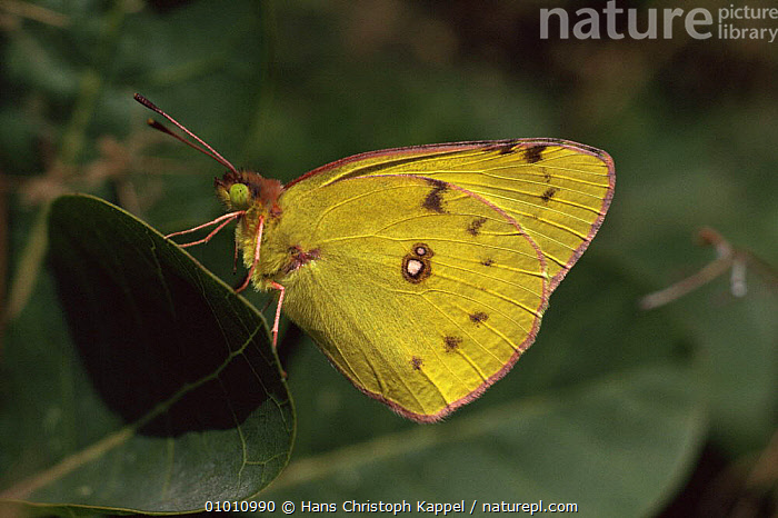 Pale Clouded Yellow Butterfly (Colias hyale) on leaves, Germany  ,  ARTHROPODS,BUTTERFLIES,EUROPE,GERMANY,INSECTS,INVERTEBRATES,LEPIDOPTERA,PORTRAITS,YELLOW  ,  Hans Christoph Kappel