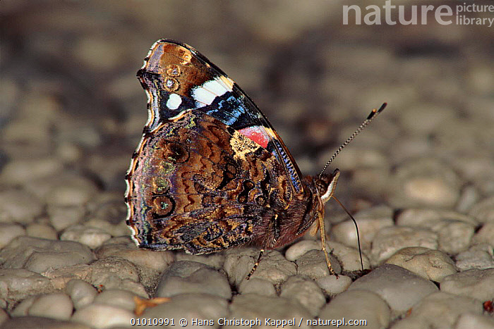 Red Admiral butterfly showing wing undersides, Germany, GERMANY,HK,PORTRAITS,HORIZONTAL,PROFILE,INSECTS,WINGS,EUROPE,INVERTEBRATES, Hans Christoph Kappel