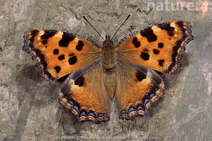 Large Tortoiseshell Butterfly resting  (Nymphalis polychloros) Germany, POLYCHLOROS,COLOURFUL,OPEN,TORTOISESHELL,HK,BUTTERFLIES,INSECTS,EUROPE,BUTTERFLY,GERMANY,PORTRAITS,WINGS,INVERTEBRATES, Hans Christoph Kappel