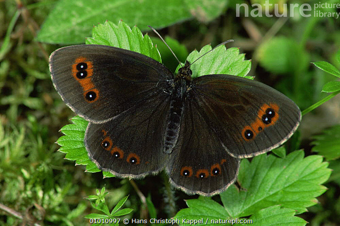 Almond Eyed Ringlet Butterfly (Erebia alberganus) on leaves, Germany  ,  ARTHROPODS,BUTTERFLIES,EUROPE,GERMANY,INSECTS,INVERTEBRATES,LEPIDOPTERA,PORTRAITS,WINGS  ,  Hans Christoph Kappel