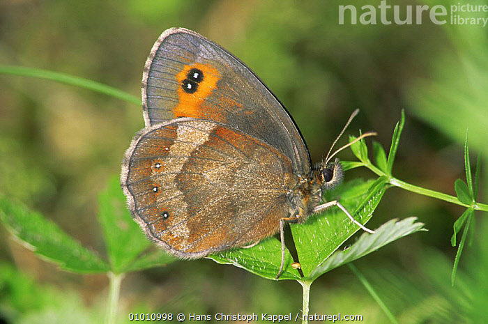 Almond Eyed Ringlet Butterfly (Erebia alberganus) on leaf, Germany  ,  ARTHROPODS,BUTTERFLIES,EUROPE,GERMANY,INSECTS,INVERTEBRATES,LEPIDOPTERA,PORTRAITS  ,  Hans Christoph Kappel