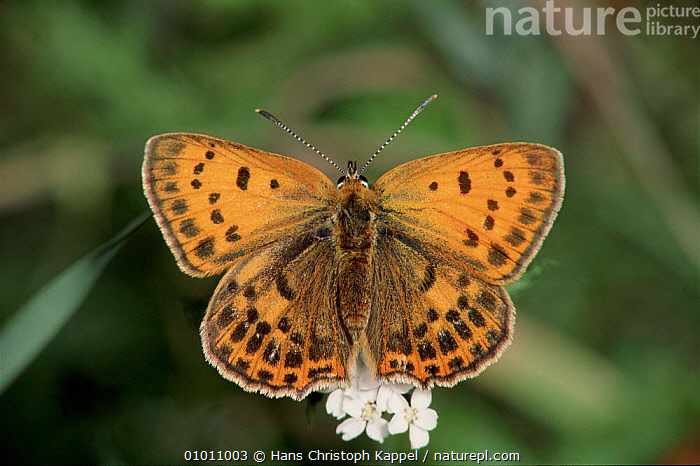 Scarce Copper Butterfly. Germany  ,  EUROPE,HK,INSECTS,GERMANY,HORIZONTAL,WINGS,SUMMER,PORTRAITS,INVERTEBRATES  ,  Hans Christoph Kappel