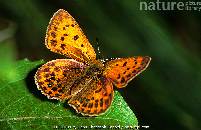 Scarce copper butterfly (Lycaena virgaureae) at rest, Germany, Europe, ARTHROPODS,BUTTERFLIES,EUROPE,GERMANY,INSECTS,INVERTEBRATES,LEPIDOPTERA,PORTRAITS,WINGS, Hans Christoph Kappel