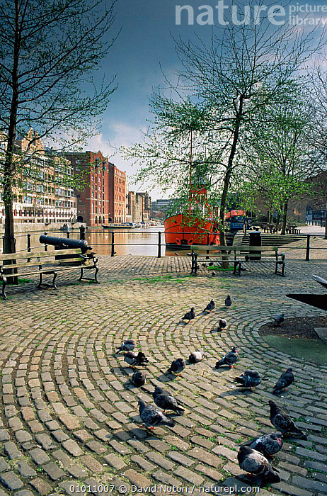 Bristol harbour with pigeons feeding in foreground, Welsh Back, Redcliffe Quay. Bristol, England  ,  BIRDS,BOATS,CITIES,EUROPE,FLOCKS,GROUPS,LANDSCAPES,UK,URBAN,VERTICAL,United Kingdom,British, United Kingdom, United Kingdom  ,  David Noton