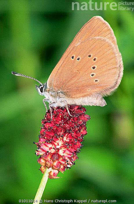 Dusky Large Blue Butterfly (Phengaris nausithous) on {Sanguisorba officianalis} Germany  ,  ARTHROPODS, BUTTERFLIES, EUROPE, FLOWERS, INSECTS, INVERTEBRATES, LEPIDOPTERA, PLANTS, VERTICAL  ,  Hans Christoph Kappel