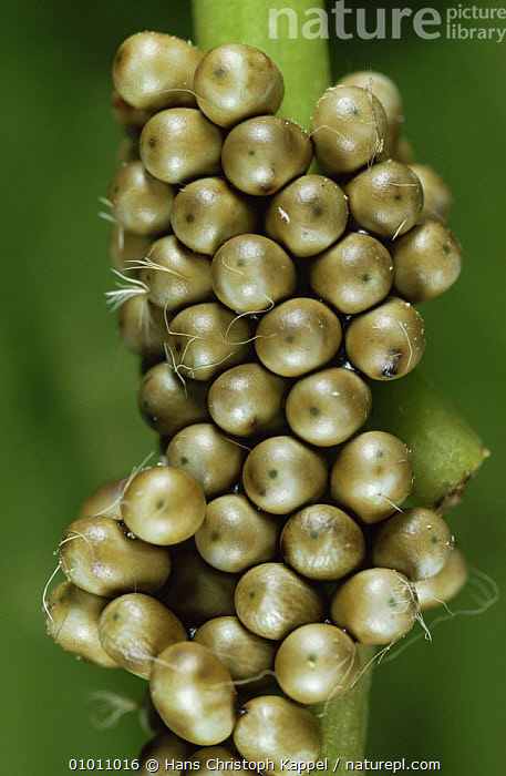 Emperor Moth (Saturnia pavonia) eggs on plant stem. Captive, Germany, EGGS, EMPEROR-MOTHS, EUROPE, GERMANY, INSECTS, INVERTEBRATES, LEPIDOPTERA, MOTHS, VERTICAL, Hans Christoph Kappel