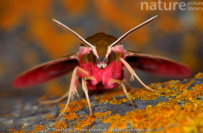 Spurge Hawk moth, Germany, PORTRAITS,EUROPE,CLOSE UP,ANTENNAE,GERMANY,HORIZONTAL,FACES,HK,INSECTS,HEADS,HAWKMOTH,INVERTEBRATES,LEPIDOPTERA, Hans Christoph Kappel