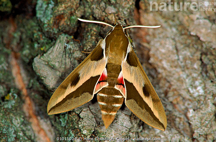 Spurge Hawk moth resting on tree bark, Germany  ,  BARK,GERMANY,COLOURFUL,HAWKMOTH,INSECTS,PORTRAITS,EUROPE,WINGS,TREES,HORIZONTAL,TRUNKS,HK,PLANTS,INVERTEBRATES,LEPIDOPTERA  ,  Hans Christoph Kappel