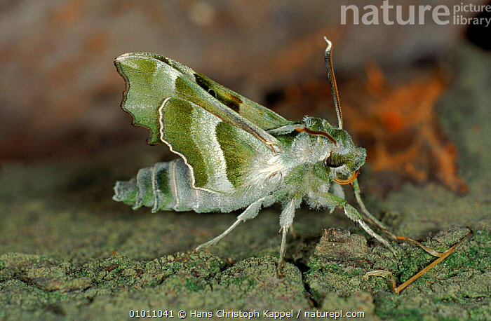 Willowherb hawkmoth, Germany, EUROPE, GERMANY, HAWKMOTHS, HORIZONTAL, INSECTS, INVERTEBRATES, LEPIDOPTERA, MOTHS, PORTRAITS, Hans Christoph Kappel
