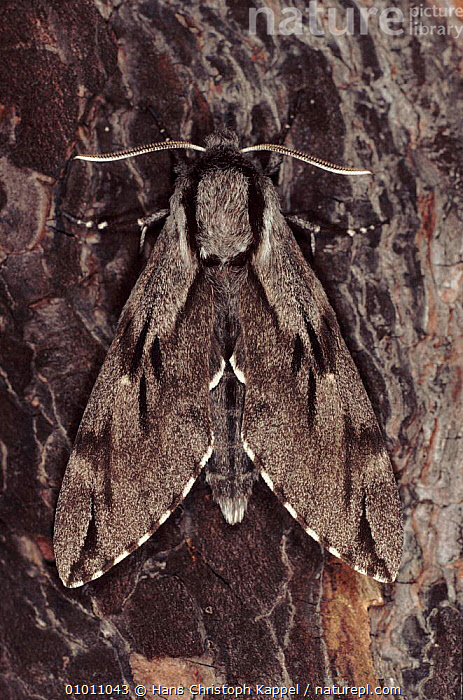 Pine Hawk Moth resting on tree, Germany, CAMOUFLAGE, EUROPE, GERMANY, HAWKMOTHS, INSECTS, INVERTEBRATES, LEPIDOPTERA, MOTHS, PORTRAITS, WINGS, Hans Christoph Kappel