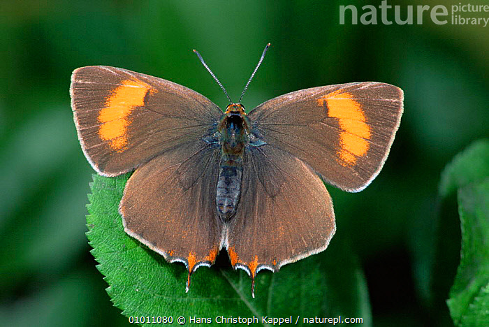Brown Hairstreak Butterfly (Thecla betulae) Germany  ,  ARTHROPODS,BUTTERFLIES,EUROPE,INSECTS,INVERTEBRATES,LEPIDOPTERA,PORTRAITS  ,  Hans Christoph Kappel